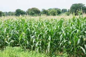 1280px-Corn_plantation